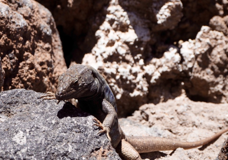 Thoughts I Had in Tenerife - lizard at Teide National Park
